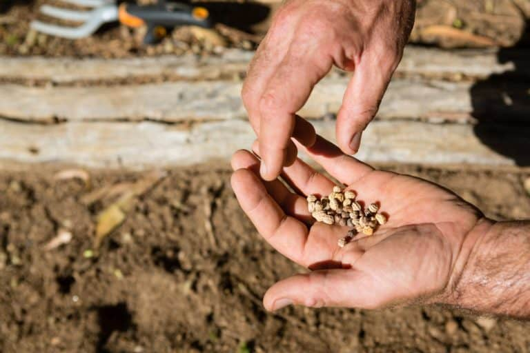 Close-up of man holding seeds in farm