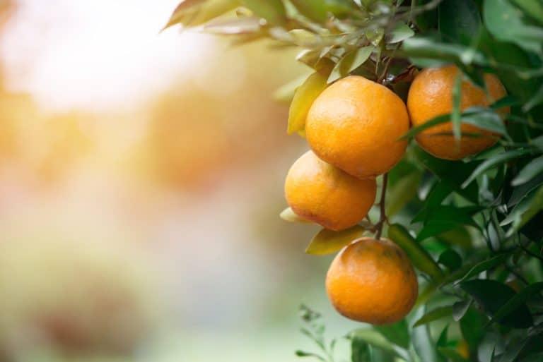 Fruitiers et agrumes - jardinerie du Tech